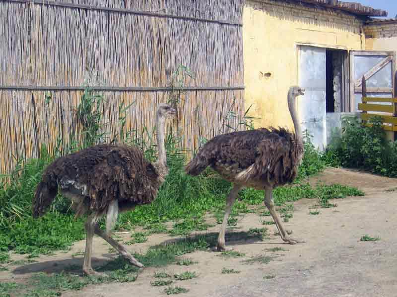 Голубицкая страусиная ферма