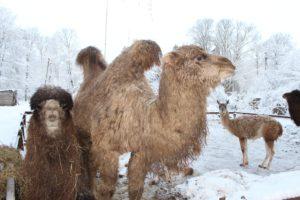 Где в окрестностях Питера посмотреть с детьми на оленей, верблюдов и страусов: фермы, эко- и этнопарки Ленобласти